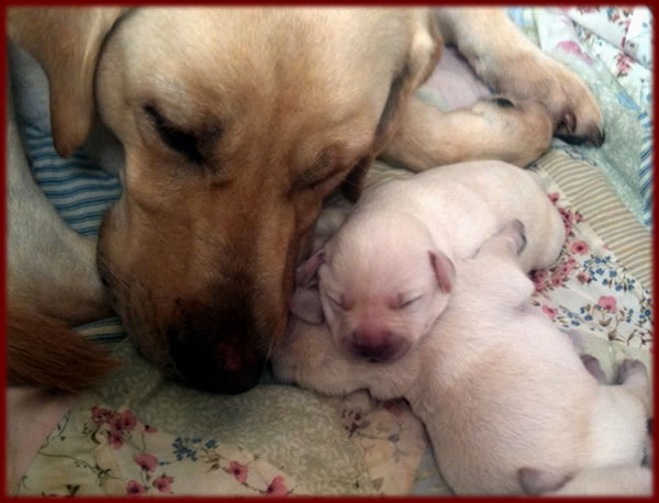Labrador Yellow Litter