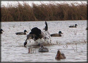 Trained Retriever (Sammy) on her first duck season.